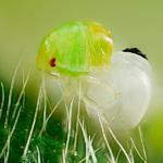 Grüne Stinkwanze beim Schlupf