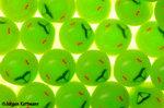 Grüne Stinkwanzen kurz vorm schlüpfen